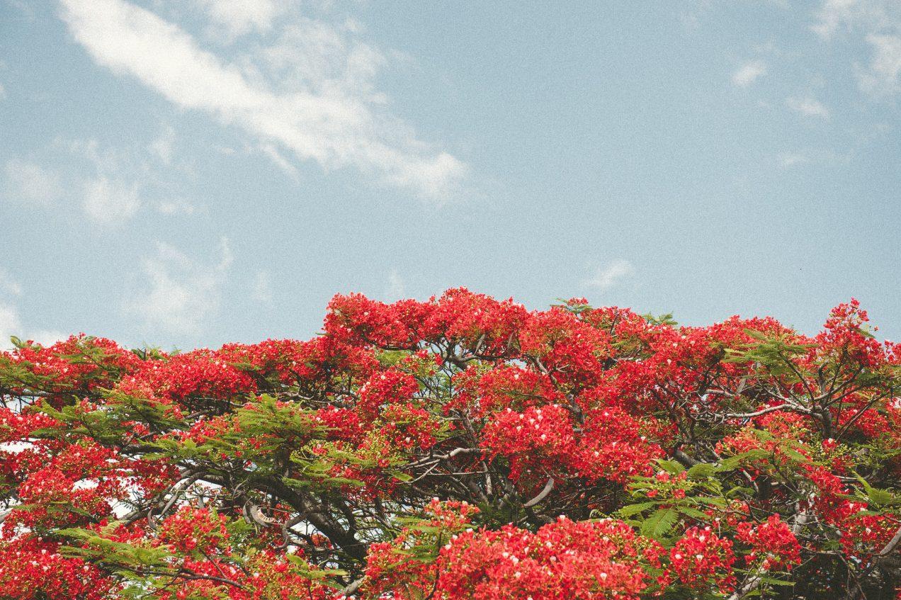 Paia Trees